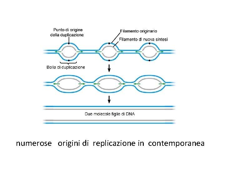 numerose origini di replicazione in contemporanea