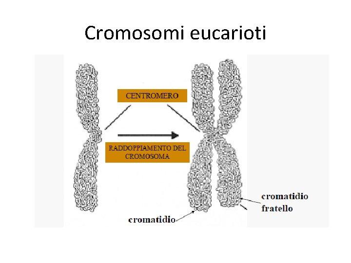 Cromosomi eucarioti