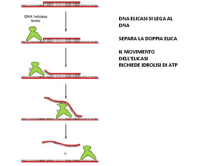 DNA ELICASI SI LEGA AL DNA SEPARA LA DOPPIA ELICA IL MOVIMENTO DELL'ELICASI RICHIEDE
