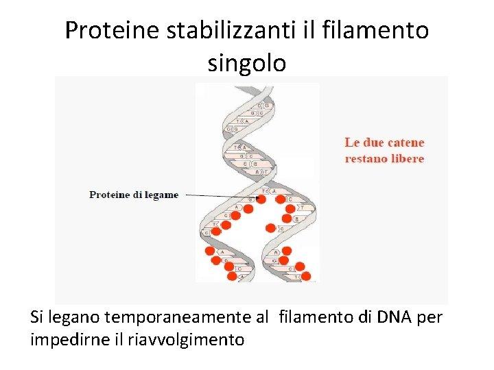 Proteine stabilizzanti il filamento singolo Si legano temporaneamente al filamento di DNA per impedirne