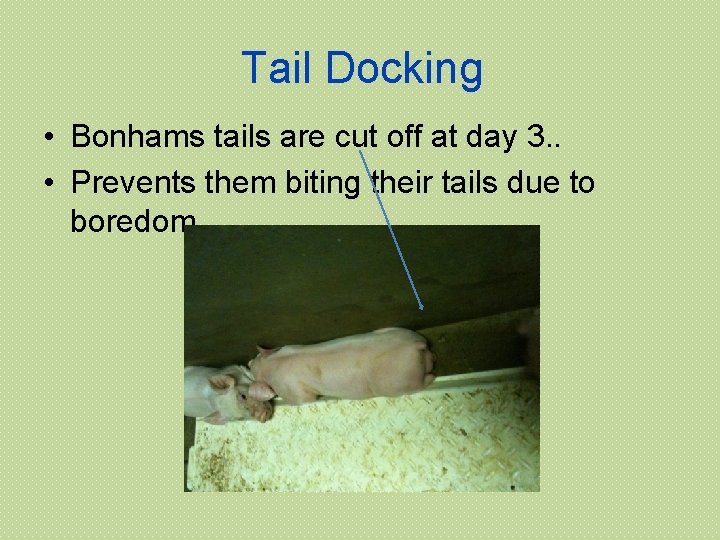 Tail Docking • Bonhams tails are cut off at day 3. . • Prevents