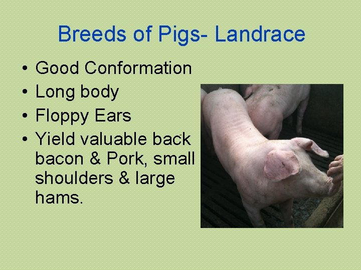 Breeds of Pigs- Landrace • • Good Conformation Long body Floppy Ears Yield valuable