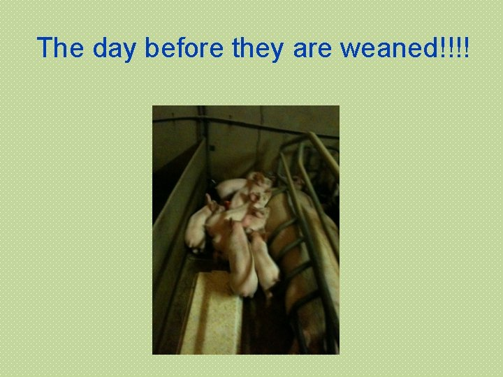 The day before they are weaned!!!!