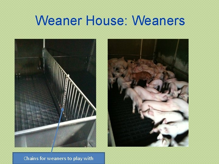 Weaner House: Weaners Chains for weaners to play with