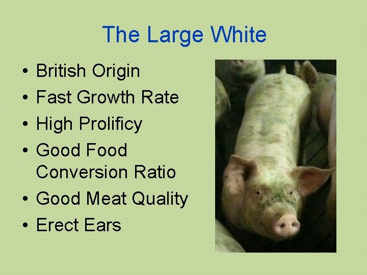 The Large White • • British Origin Fast Growth Rate High Prolificy Good Food