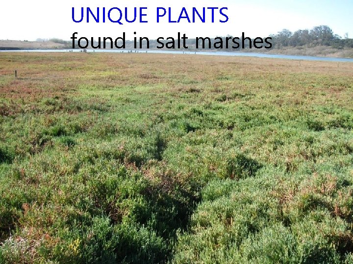 UNIQUE PLANTS found in salt marshes