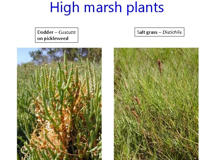 High marsh plants Dodder – Cuscuta on pickleweed Salt grass – Distichlis