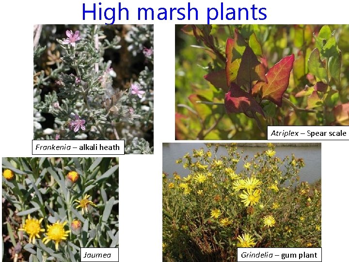 High marsh plants Atriplex – Spear scale Frankenia – alkali heath Jaumea Grindelia –