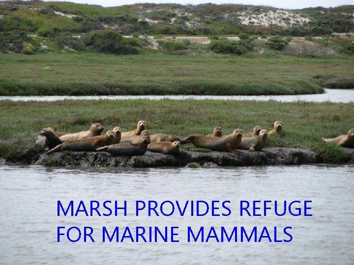 MARSH PROVIDES REFUGE FOR MARINE MAMMALS