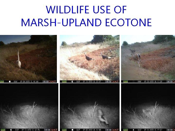 WILDLIFE USE OF MARSH-UPLAND ECOTONE