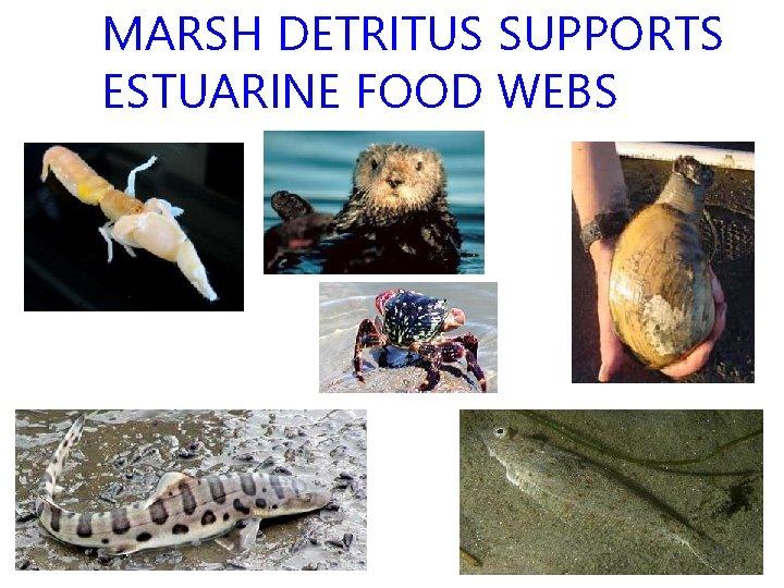 MARSH DETRITUS SUPPORTS ESTUARINE FOOD WEBS