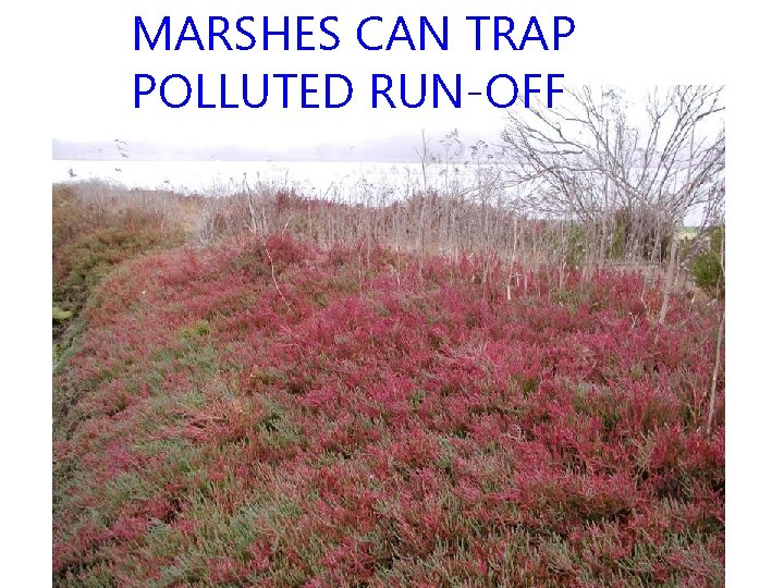 MARSHES CAN TRAP POLLUTED RUN-OFF