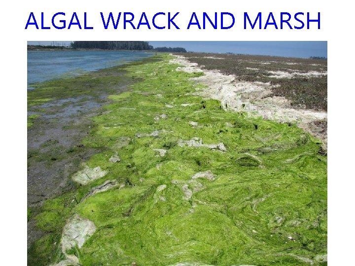 ALGAL WRACK AND MARSH