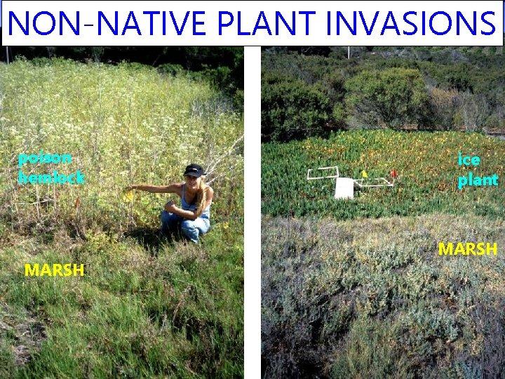 NON-NATIVE PLANT INVASIONS poison hemlock MARSH ice plant MARSH