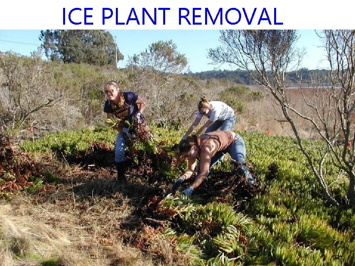 ICE PLANT REMOVAL