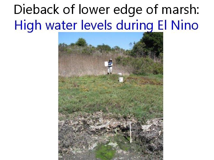 Dieback of lower edge of marsh: High water levels during El Nino