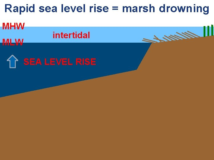 Rapid sea level rise = marsh drowning MHW MLW intertidal SEA LEVEL RISE