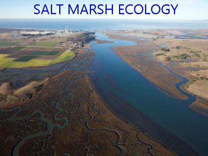 SALT MARSH ECOLOGY