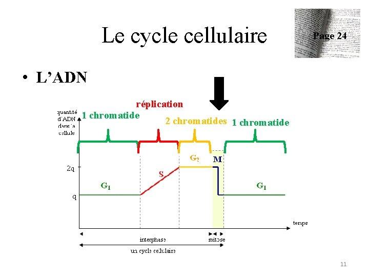 Le cycle cellulaire Page 24 • L'ADN réplication 1 chromatide 2 chromatides 1 chromatide