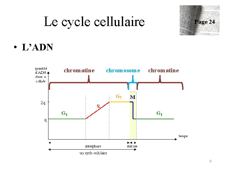 Le cycle cellulaire Page 24 • L'ADN chromatine chromosome chromatine 9