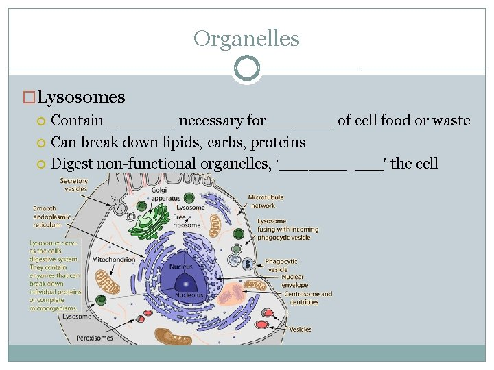 Organelles �Lysosomes Contain _______ necessary for_______ of cell food or waste Can break down