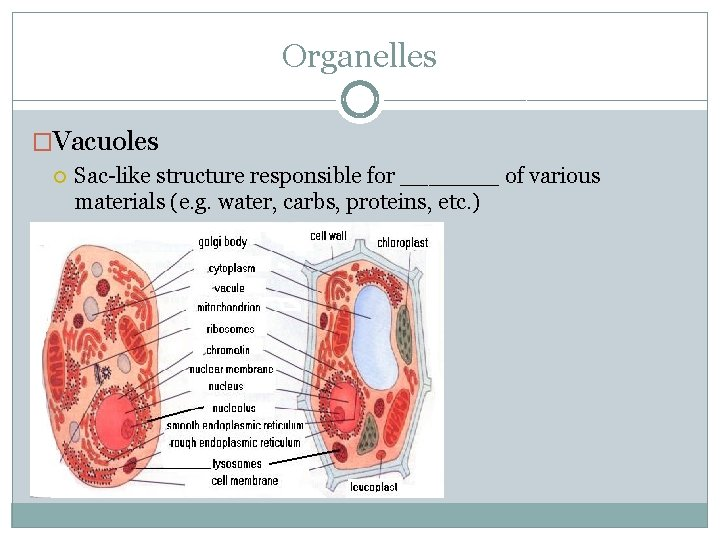 Organelles �Vacuoles Sac-like structure responsible for _______ of various materials (e. g. water, carbs,