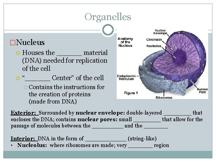 """Organelles �Nucleus Houses the ______ material (DNA) needed for replication of the cell """"______"""