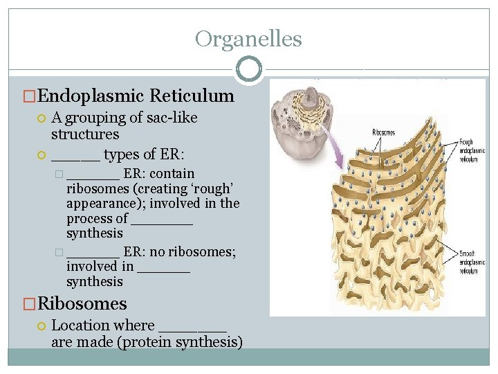 Organelles �Endoplasmic Reticulum A grouping of sac-like structures _____ types of ER: � ______