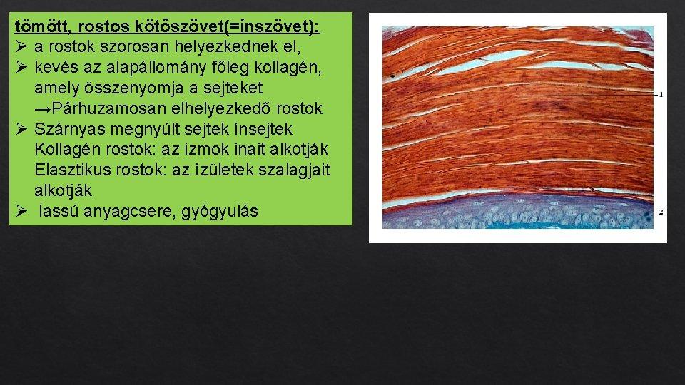 tömött, rostos kötőszövet(=ínszövet): Ø a rostok szorosan helyezkednek el, Ø kevés az alapállomány főleg