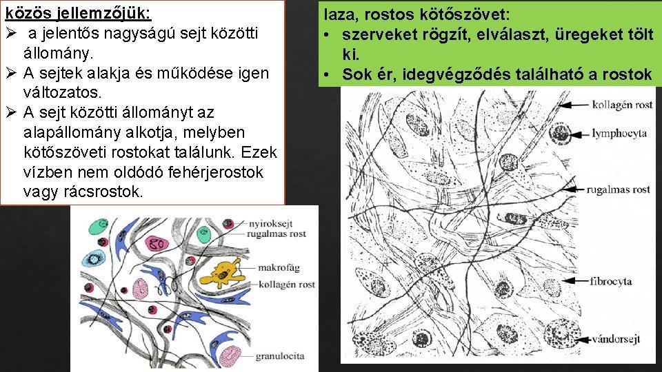közös jellemzőjük: Ø a jelentős nagyságú sejt közötti állomány. Ø A sejtek alakja és