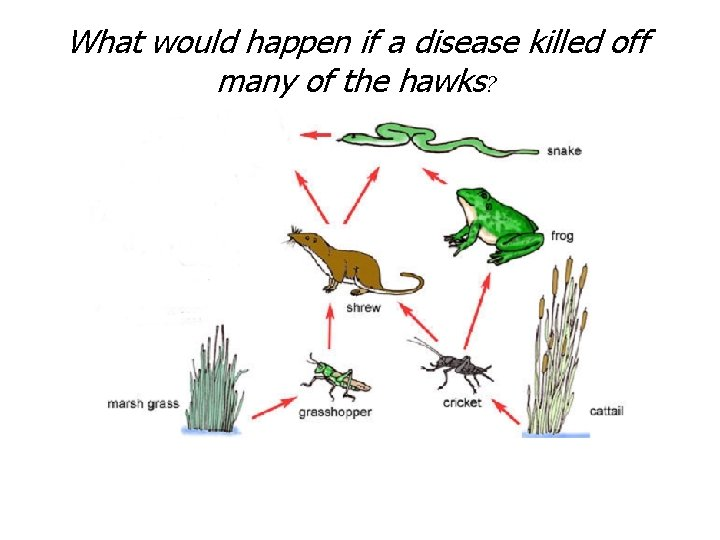 What would happen if a disease killed off many of the hawks?