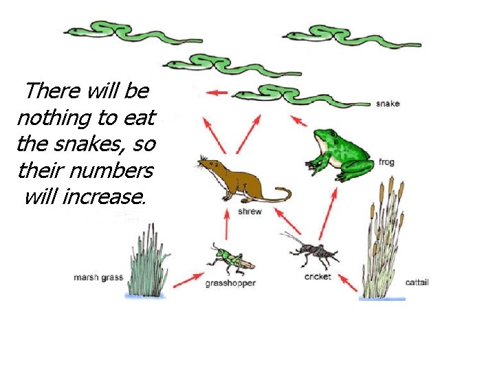 There will be nothing to eat the snakes, so their numbers will increase.