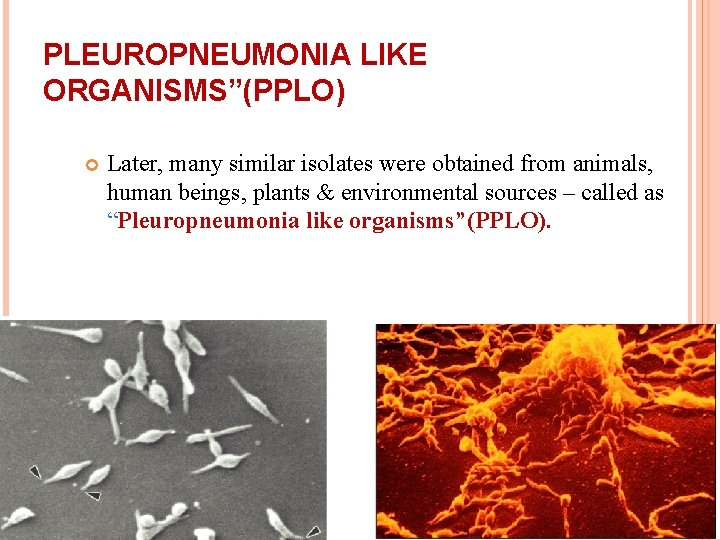 """PLEUROPNEUMONIA LIKE ORGANISMS""""(PPLO) Later, many similar isolates were obtained from animals, human beings, plants"""