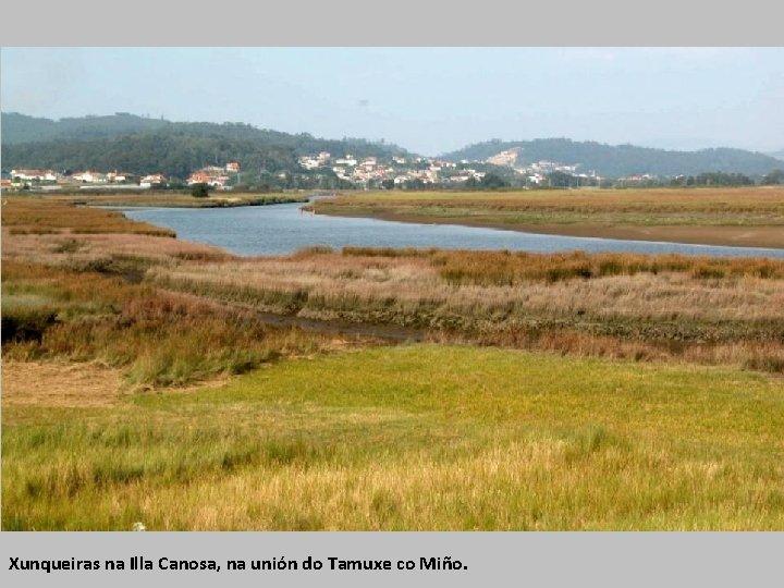 Xunqueiras na Illa Canosa, na unión do Tamuxe co Miño.