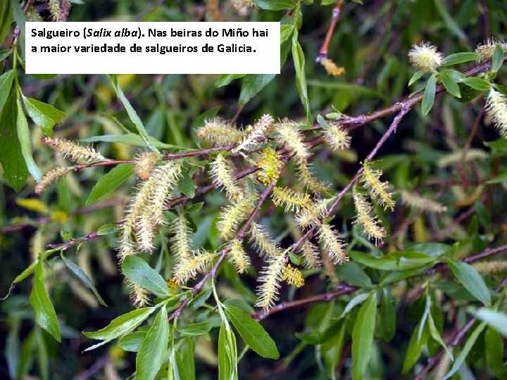 Salgueiro (Salix alba). Nas beiras do Miño hai a maior variedade de salgueiros de