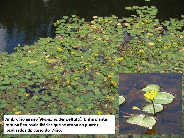 Ambroíño enano (Nymphoiides peltata). Unha planta rara na Península Ibérica que se atopa en