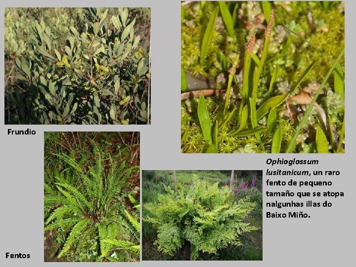 Frundio Ophioglossum lusitanicum, un raro fento de pequeno tamaño que se atopa nalgunhas illas