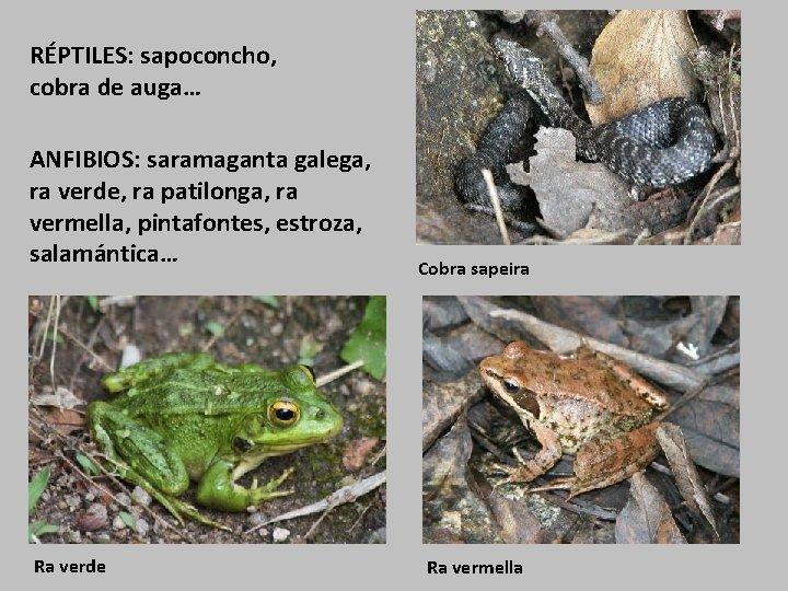 RÉPTILES: sapoconcho, cobra de auga… ANFIBIOS: saramaganta galega, ra verde, ra patilonga, ra vermella,