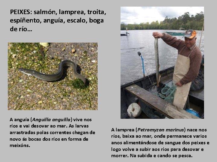 PEIXES: salmón, lamprea, troita, espiñento, anguía, escalo, boga de río… A anguía (Anguilla anguilla)