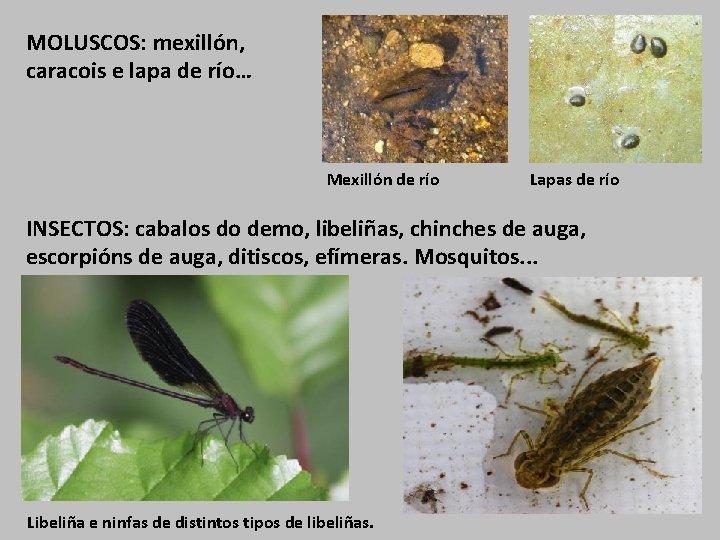 MOLUSCOS: mexillón, caracois e lapa de río… Mexillón de río Lapas de río INSECTOS: