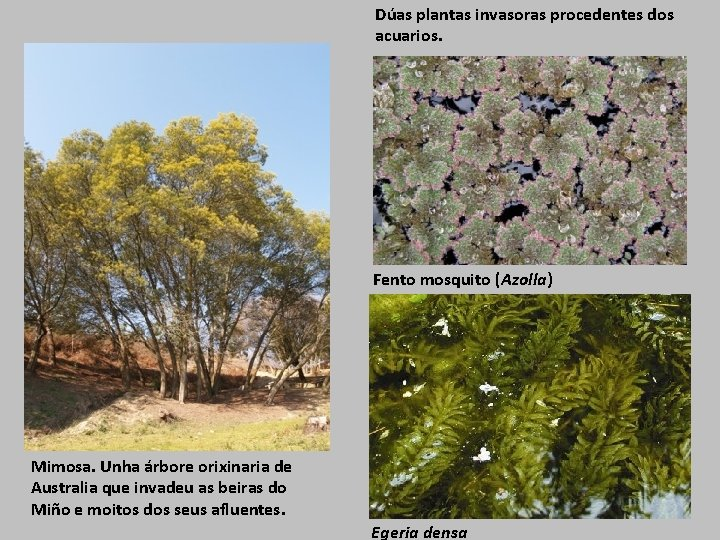 Dúas plantas invasoras procedentes dos acuarios. Fento mosquito (Azolla) Mimosa. Unha árbore orixinaria de