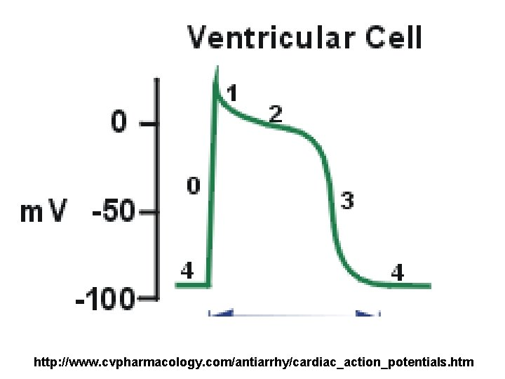 http: //www. cvpharmacology. com/antiarrhy/cardiac_action_potentials. htm