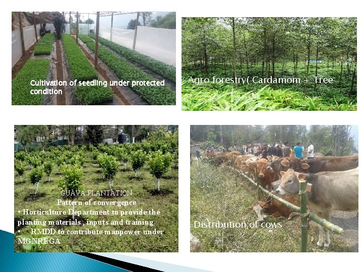 Cultivation of seedling under protected condition Agro forestry( Cardamom + Tree GUAVA PLANTATION Pattern