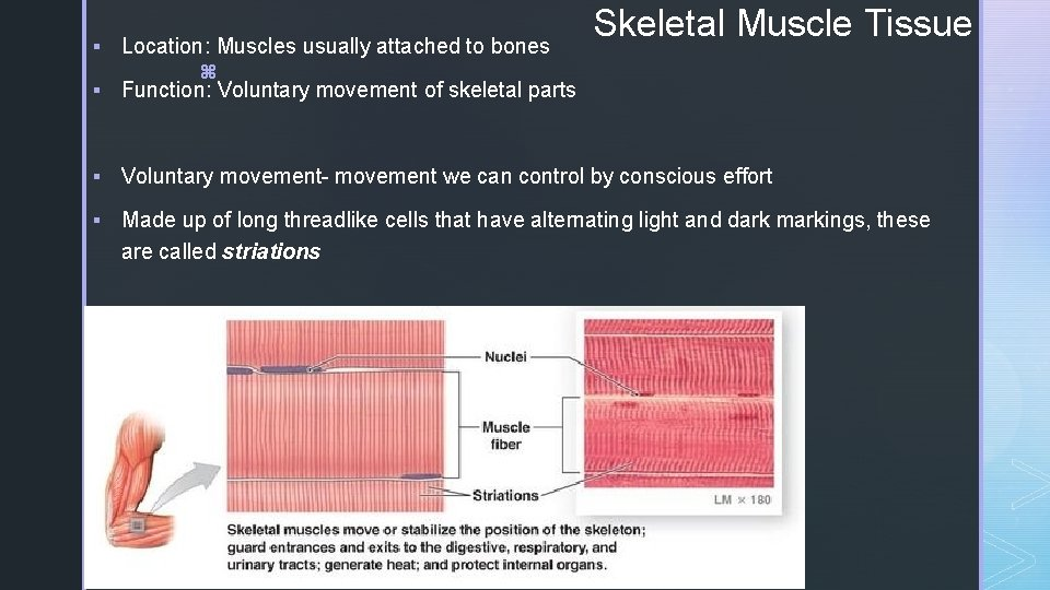 § Location: Muscles usually attached to bones z § Function: Voluntary movement of skeletal