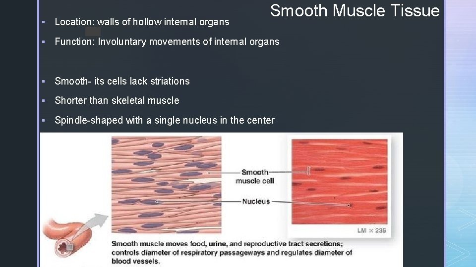Smooth Muscle Tissue § Location: walls of hollow internal organs z § Function: Involuntary