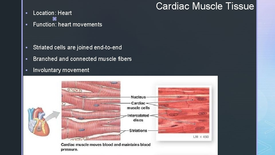 § Location: Heart z § Function: heart movements § Striated cells are joined end-to-end
