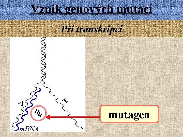 Vznik genových mutací Při transkripci A T Bu m. RNA mutagen