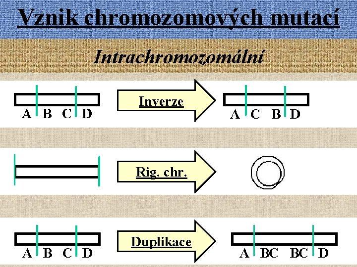 Vznik chromozomových mutací Intrachromozomální A B C D Inverze A C B D Rig.