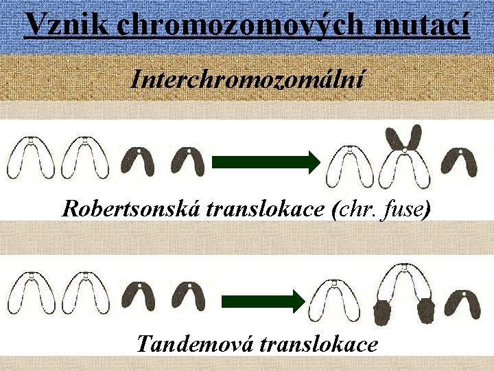 Vznik chromozomových mutací Interchromozomální Robertsonská translokace (chr. fuse) Tandemová translokace