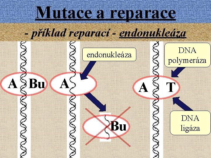 Mutace a reparace - příklad reparací - endonukleáza DNA polymeráza endonukleáza A Bu A